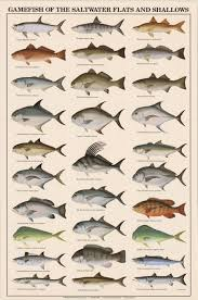 florida fish chart game fish of the saltwater flats and shallows poster freshwater