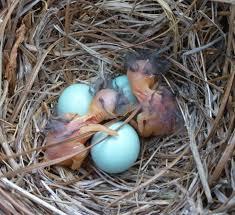 eastern bluebird eggs and es