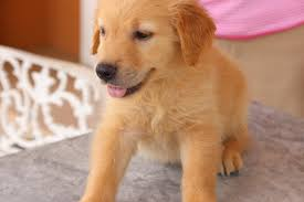 cute golden retriever puppies for sale. Simple For Tags Cute Dogs Golden Retrievers Happiness Puppies In Cute Golden Retriever Puppies For Sale E