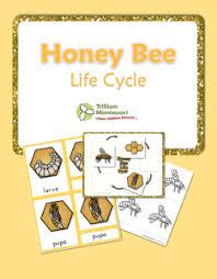 Free Printable Life Cycle Of A Honey Bee Bee Life Cycle