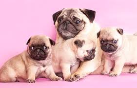 newborn pug puppies. Plain Pug If You Donu0027t Spay Your Female Dog May Eventually Find Yourself With An  Expectant Pooch On Hands Although Puppies Are Cute And Cuddly  To Newborn Pug Puppies