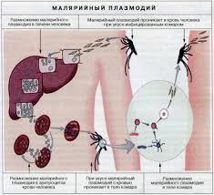 Паразитические простейшие Биология Жизненный цикл малярийного плазмодия