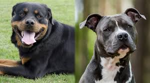 Average Pitbull Weight Chart Rottweiler Vs Pitbull Breed Comparison Differences