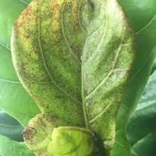 fiddle leaf fig ficus lyrata posted by abthom