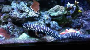 The striped eel commonly has a length of up to 4.9 feet (1.5 meters), but many specimens found are much smaller. Zebra Moray Eel Gymnomuraena Zebra Youtube