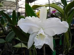 Orchid & Coffee: Cattleya lueddemanniana