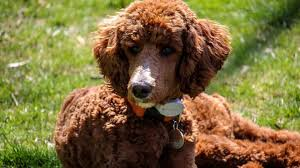 5 Top Poodle Haircut Styles For 2019 The Dog People By