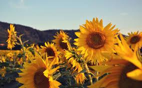 Aesthetic Sunflower Sunset Wallpaper