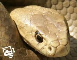Venomous Australian Snakes By Region Living With Wildlife