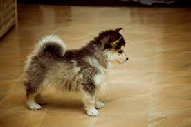 the horgi is also known as the siborgi and is a cross between the siberian husky and the corgi this is a small to um sized dog with a life expectancy