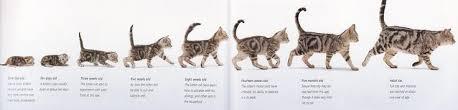 Kitten Growth Chart Kitten Growth Chart Qmsdnug Org