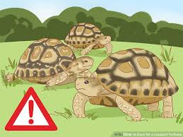 Leopard Tortoise Size Chart 3 Ways To Care For A Leopard Tortoise Wikihow