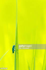 single blade of grass. Beetle Climbing Grass Blade Against Bright Green Background Single Of O