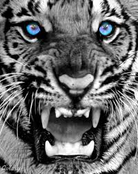white tiger with blue eyes in snow. Interesting Snow White Tiger With Blue Eyes  Tigers With Eyestiger Tigers  Tiger Picture Bengal  In Snow Pinterest