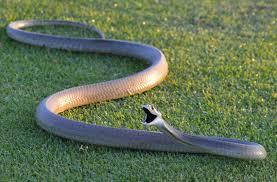 Image result for black mamba snake