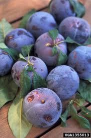 Best 25 Plum Seed Ideas On Pinterest  Banks Aus Kids House Plum Tree Not Producing Fruit
