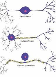 Neuron Human Anatomy