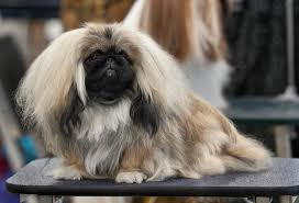 Pekingese Growth Chart Pekingese Wikipedia