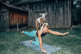 read this before you try goat yoga