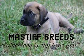 Mastiff Height Chart What Are The Different Types Of Mastiff Breeds And Which Is