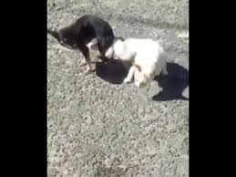 dogs and cats mating together. Perfect Cats Dog Stuck To Cat After Mating How The Hell Intended Dogs And Cats Mating Together E