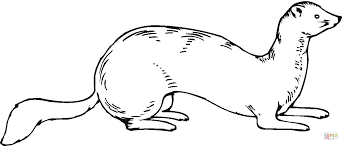 Ferret Drawing Free Download On Ayoqqorg
