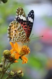 Image result for hoa bướm mùa xuân