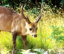 Game Deer Species Game Management Authority