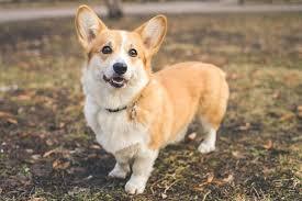 Pembroke Welsh <b>Corgi Dog</b> Breed Information