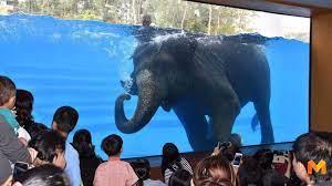 ผอ.สวนสัตว์เปิดเขาเขียว โต้สื่อนอกหลังแฉทารุณช้างให้โชว์ว่ายน้ำ