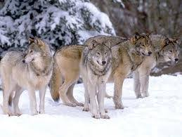gray wolf pack. Delighful Pack Their Pack Dynamic Is One Of The Most Iconic Attributes Gray Wolves  Solidifying A Decisive Place In Our Hearts And Minds For Species On Gray Wolf Pack