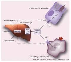 Hereditary Hemochromatosis Cancer Therapy Advisor
