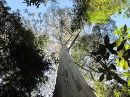 Résultats de recherche d'images pour «les arbres les plus hauts du monde»