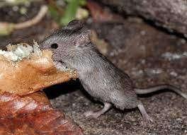 mice in your garden how to control