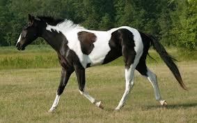 black and white paint horses running.  Running Black American Paint Horse In And White Horses Running