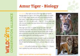 Amur Tiger Facts Wildcats Conservation Alliance