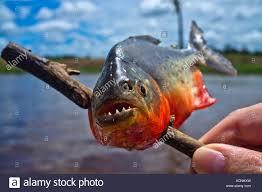amazon river piranha. Perfect Amazon Close Up Of A Piranha That Was Just Caught On The Amazon River In River Piranha