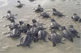 Image result for turtle season st. vincent and the Grenadines