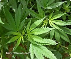 marijuana cancer cure
