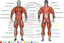 Start studying common/scientific names for muscles. Learn Muscle Names Weight Training Guide