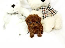micro teacup poodles puppies