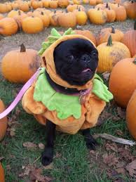 pug in pumpkin costume. Delighful Costume Could Be Kai Intended Pug In Pumpkin Costume O