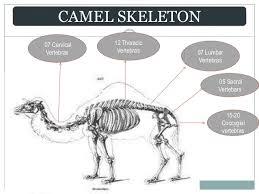 Image result for camel's spine