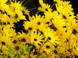 yellow flowers on black background free