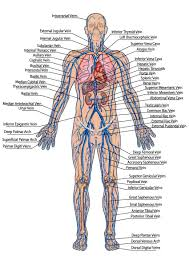 Human Veins Diagram Click Through For The Full Circulatory