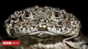 Lake Titicaca giant <b>frog</b>: Scientists join forces to save species - BBC ...