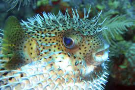 puffer fish characteristics habitat