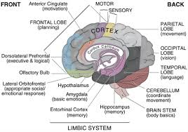 The Brain Diagram And Explanation