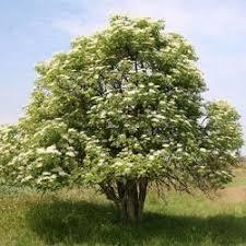 Image result for elder tree