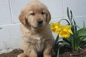 golden dog breed selector